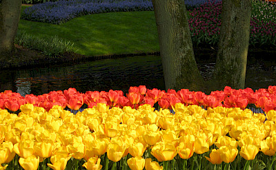 Tulips at the famous Keukenhof, Lisse, the Netherlands. Flickr:Michela Simoncini