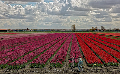 Tulip fields in South Holland, the Netherlands. ©Hollandfotograaf