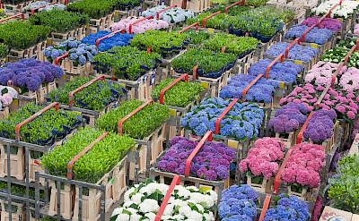 Flower Market in Aalsmeer, the Netherlands. ©TO