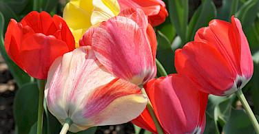 Keukenhof's tulips abound. Photo via Flickr:Ted