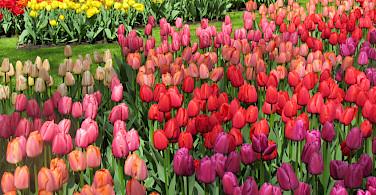 Colorful tulips galore at the Keukenhof, Lisse, South Holland, the Netherlands. Photo via Flickr:IMBiblio