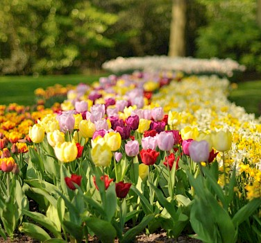 Tulips at the Keukenhof, near Lisse, the Netherlands. Photo via Flickr:gnuckx