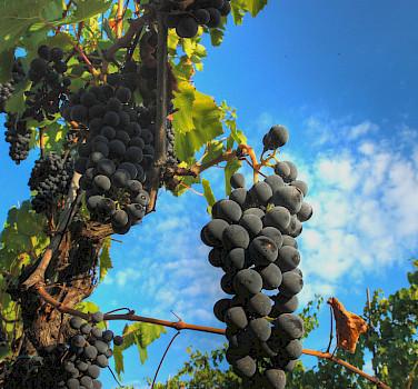 Grapes ripening in Chianti, Italy. Photo via Flickr:Francesco Sgroi
