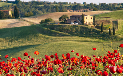 Poppies adorn the fields in Tuscany. Flickr:Ivan Borisov