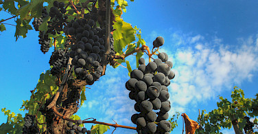 Grapes for Chianti in Tuscany, Italy. Photo via Flickr:Francesco Sgroi