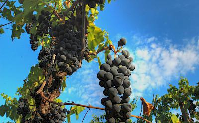 Grapes for Chianti in Tuscany, Italy. Photo via Flickr:Francesco Sgroi
