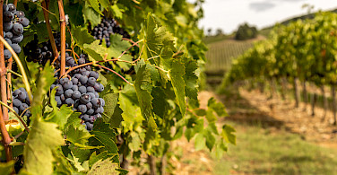 Tignanello grapes ready for harvest in Chianti, Italy. Photo via Flickr:PapaPiper