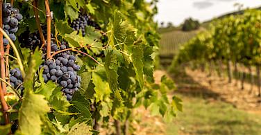 Tignanello grapes ready for harvest in Chianti, Italy. Photo via Flickr:PapaPiper