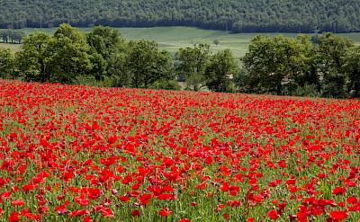Poppy fields in Umbria, Italy. Flickr:Andrew Moore