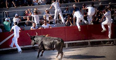 Fleeing bulls at the Arles Amphitheater, France. Photo via Flickr:Ralf Steinberger