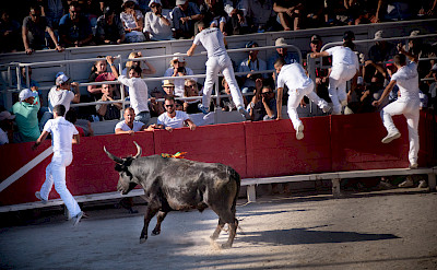 Fleeing bulls at the Arles Amphitheater, France. Flickr:Ralf Steinberger