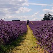 Gotta love the lavender fields in Provence, France. Flickr:juneuk83