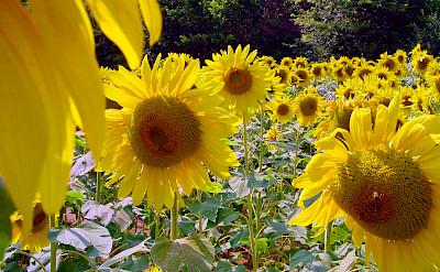 Sunflower fields forever in Provence, France. Flickr:Bert Kaufmann