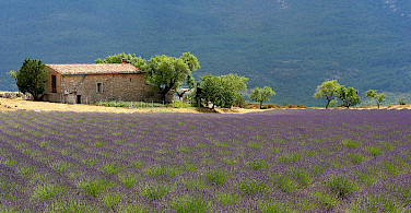 Farmhouses and lavenders make up much of the Provence. Photo via Flickr:Jialiang Gao