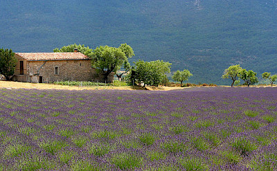 Farmhouses and lavenders make up much of the Provence. Flickr:Jialiang Gao