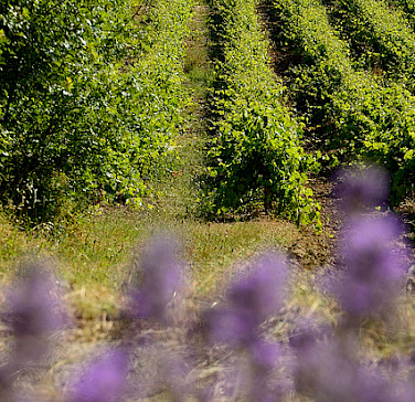 Vineyards in Provence, France. Photo via Flickr:myhsu