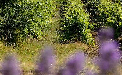 Vineyards in Provence, France. Flickr:myhsu