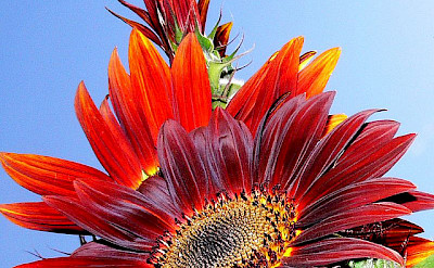 Red sunflowers in Provence! Flickr:virdi