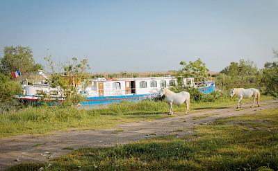 Camargue horses | L'Estello | Bike & Boat Tours