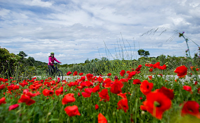 Biking past poppy fields along the Dalmatian Coast.