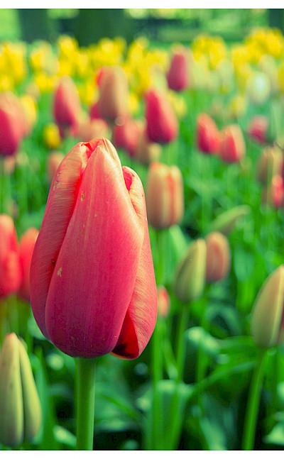 Tulips aplenty in Holland! Photo via Flickr:kudumomo