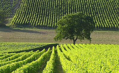 Sancerre vineyards