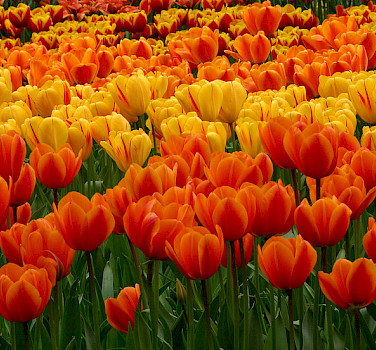 Tulips are a Dutch trademark. Photo via Flickr:Dan Kamminga