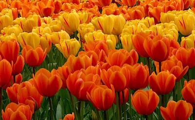 Tulips are a Dutch trademark. Photo via Flickr:Dan Kamminga