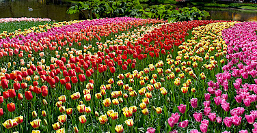 Tulips at the Keukenhof, near Lisse, the Netherlands. Photo via Flickr:Cristi_navalici