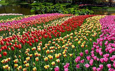 Tulips at the Keukenhof, near Lisse, the Netherlands. Photo via Flickr:Cristi_navalici