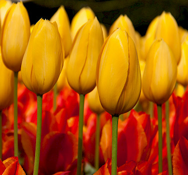 Gorgeous tulips at the Keukenhof, Lisse, the Netherlands. Photo via Flickr:Hans Splinter
