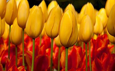 Gorgeous tulips at the Keukenhof, Lisse, the Netherlands. Photo via Flickr:Hans Splinter