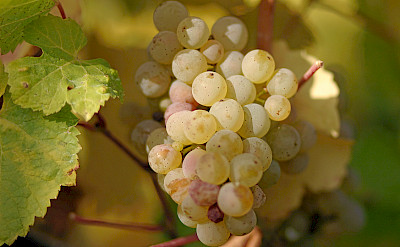 Riesling grapes along the Mosel River in Germany. CC:Tom