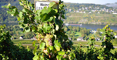 Vineyards align the Mosel River in Traben Trarbach, Germany. Photo via Flickr:Johan Wieland