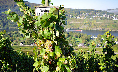 Vineyards align the Mosel River in Traben Trarbach, Germany. Flickr:Johan Wieland