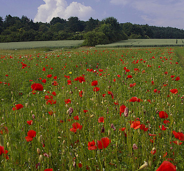 Poppy fields in the valley of the Main River. Photo via Flickr:Anne Froehlich