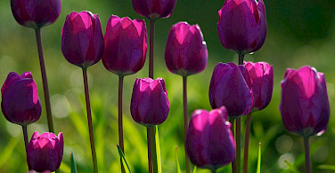 Purple tulips, of course. Flickr:C_osett