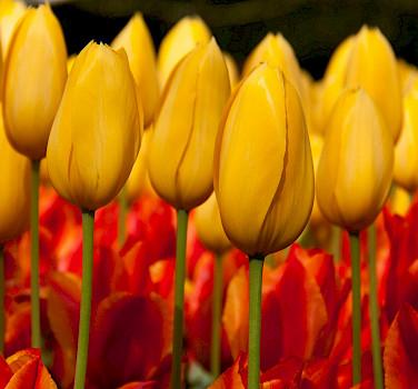 Super Tulip Tour