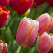 Tulip Tour - 7 day Photo