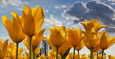 Yellow tulips in the Netherlands! Photo via Flickr:stokesrx