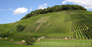 Vineyard-covered hills in Remich, Luxembourg. Flickr:sjaakkempe