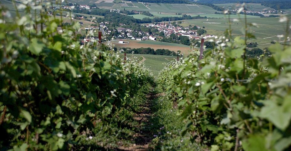 Champagne region near Epernay, France. Flickr:Pug Girl