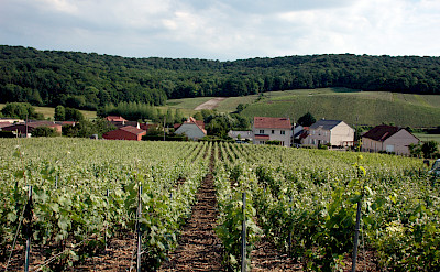 Vineyards throughout the Champagne region. Flickr:Pug Girl