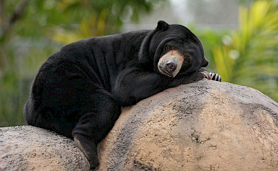 Malayan Sun Bear in Cambodia. Photo via Wikimedia Commons:birdphotos