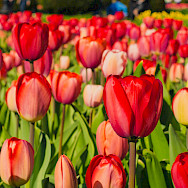 Red tulips blooming, Keukenhof, South Holland. Photo via Flickr:Kelly Sikkema