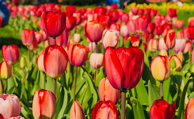 Red tulips blooming, Keukenhof, South Holland. Flickr:Kelly Sikkema