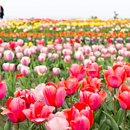 Tulip fields forever in Holland. Flickr:T.Kiya