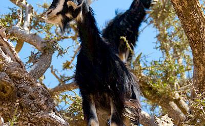 Goats in Morocco. Flickr:sdfgsdfgasdr