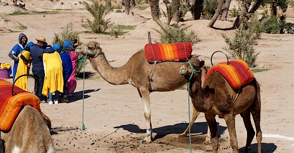 Camels in Marrakech, Morroco. Photo via Flickr:Matt Kieffer
