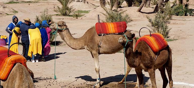 Camels in Marrakech, Morroco. Photo via Flickr:Matt Kieffer